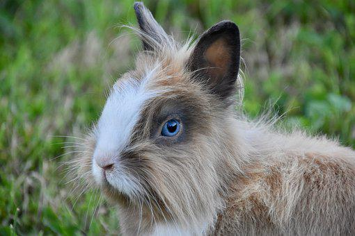 Rabbit, Rabbit Portrait, Rabbit Blue Eyes, Prairie