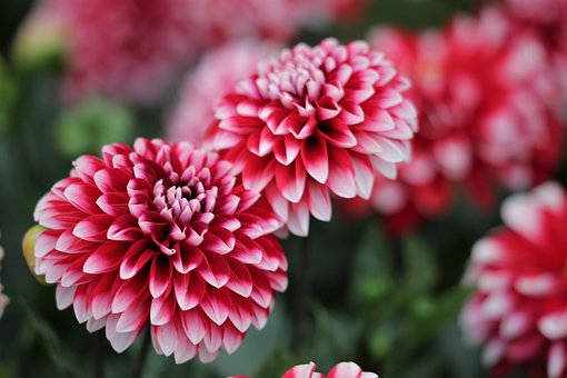 Red And White Zinnia, Blooming, Flower, Plant, Meadow