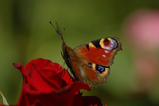 Butterfly, Peacock, Rose, Red, Flower, Green
