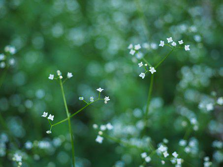 Round-leaf Bedstraw, Flowers, White, Small, Tiny