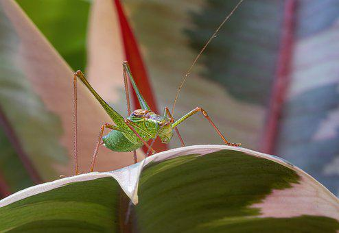 Speckled-bush-cricket, Tiny, Insect, Nature, Bug, Eyes