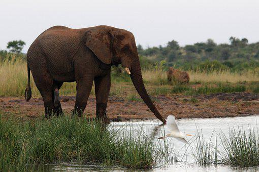 African, Elephant, Drinking, Water, Stretched, Trunk