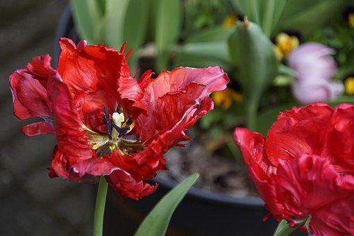 Marthapostma's, Tulp1, Voorjaar2018