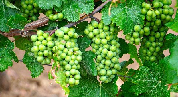 Grapes, Wine, Grapevine, Winegrowing, Vine, Rebstock