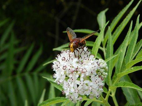 Nature, Wildlife, Bee, Elderberry, Volucella Zonaria