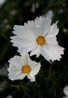 Cosmos, White, Summer, Garden, Flowers, Composites