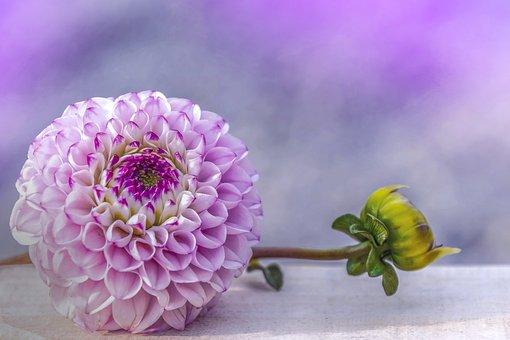 Dahlia, Purple, Flower, Dahlia Garden, Pink, White