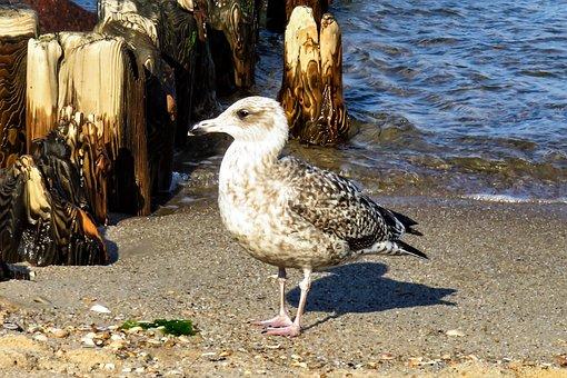 Bird, Seagull, Sea, Water, Beach, Seevogel, Animal