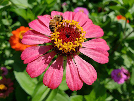 Zinnia, Flower, Bloom, Summer, Blossom, Bee, Insect