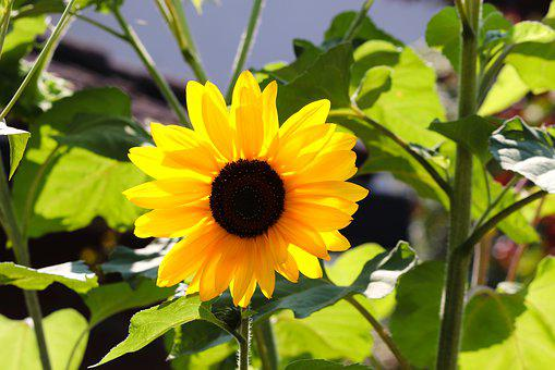 Sunflower, Blossom, Bloom, Helianthus, Yellow, Summer