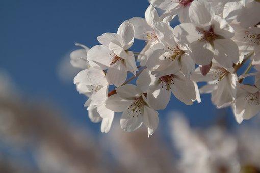 Apple Blossom, Flowers, White, Sky, Blue, Spring, Tree