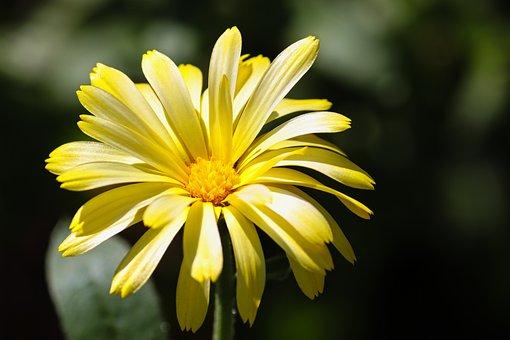 Sea Beach-marigold, Calendula Suffruticosa, Marigold