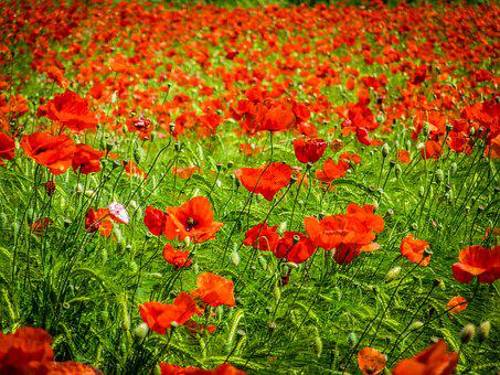 Poppies, Red, Field, Nature, Flower, Spring, Summer