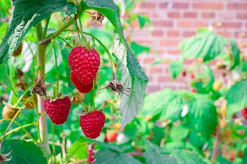 Raspberries, Raspberry, Fruit, Fruits, Food, Red, Berry