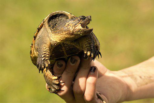 Snapping Turtle, Girl, Holding, Young, Open Mouth