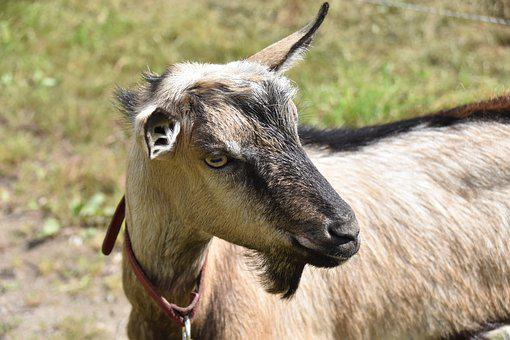 Goat, Goat Without Horns, Goat Motte, Nature, Prairie