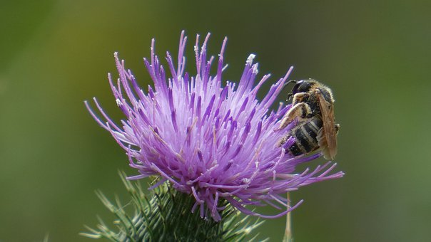 Bee, Thistle, Blossom, Bloom, Flower, Insect, Nature
