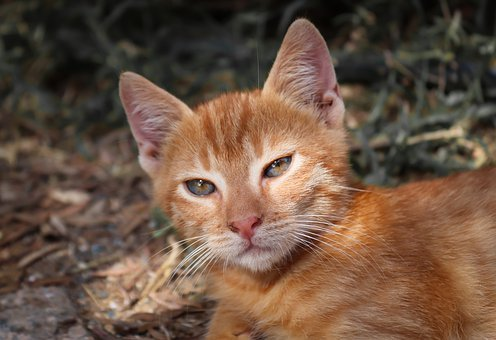 Cat, Small, Red, Kitten, Pet, Young, Playful, View