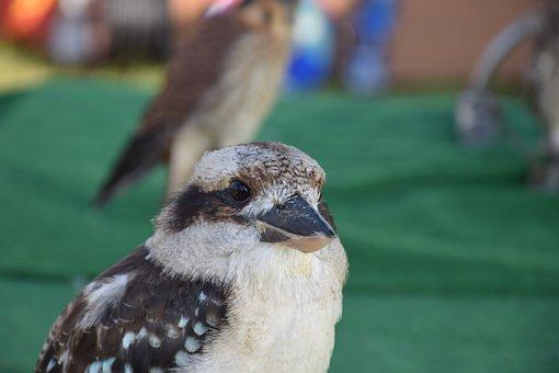 Kookaburra, Lachvogel, Tasmania, Australia, Animals
