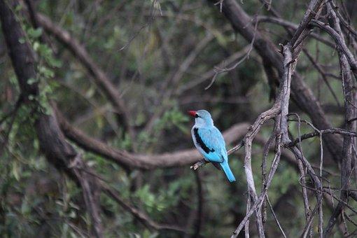 Woodland Kingfisher, Kingfisher, Kruger, Bird, Blue