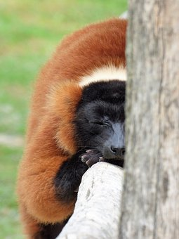 Lemur, Animal, Primate, Maki Vari Roux, Sleep