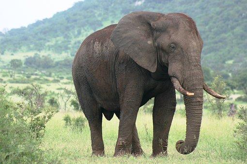 Majestic, Big, Elephant, Bull, Lonely, Dangerous
