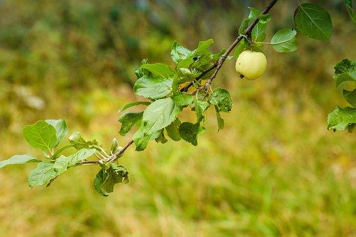 Apple, Tree, Nature, Fruit, Autumn, Season