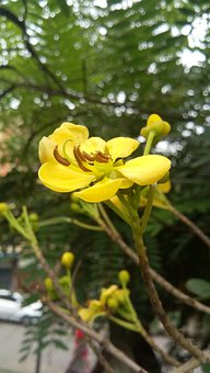 Nature, Flower, Yellow Flower, Garden, Outdoor, Rose