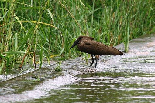 Hammerkop, Hammer Head, Bird, Water, Nature, Elegant