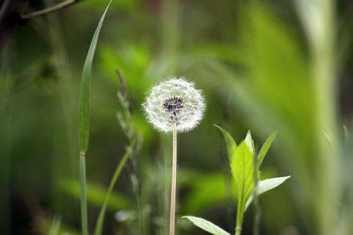Dandelion, Mr Hall, Nature, Plants, Seeds, Flowers