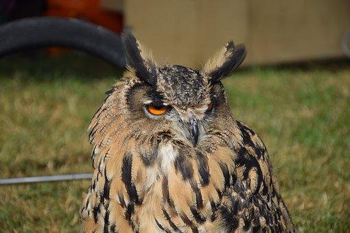 Eurasian Eagle Owl, Owl, Bird, Feather, Animals