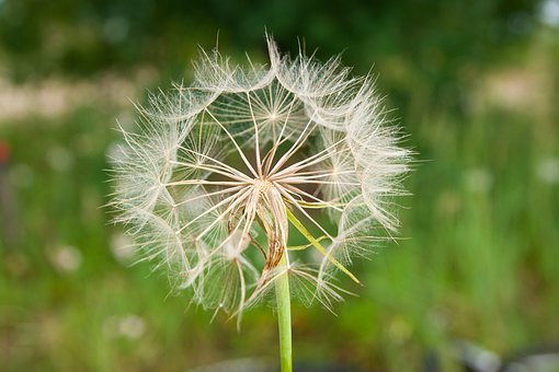 Flower, Dandelion, Nature, Seeds, Meadow, Plant