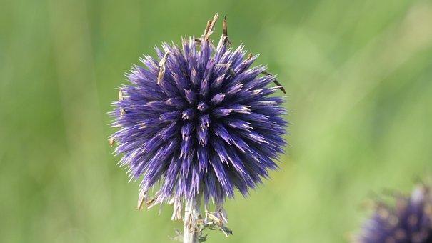 Thistle, Plant, Purple, Nature, Flower, Garden, Blossom