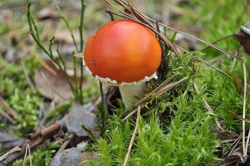 Mushroom, Nature, Forrest, Red, Earth, Explore, Macro