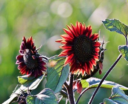 The Red Side, Petals, Vegetable, Summer, Red, Flora