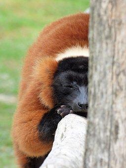 Lemur, Animal, Primate, Maki Vari Roux, Sleep