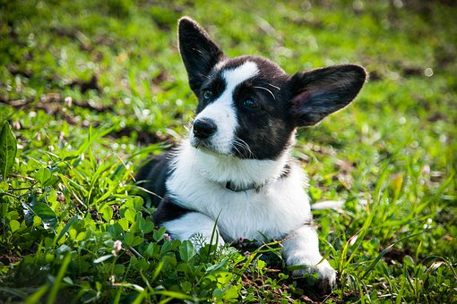 Dog, Welsh Gorky, Puppy, Young Dog, Cute, Small, Pet