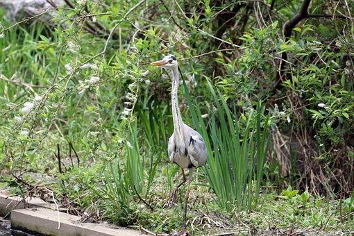 Hern, Stork, Birds, Outdoor, Feather, Water