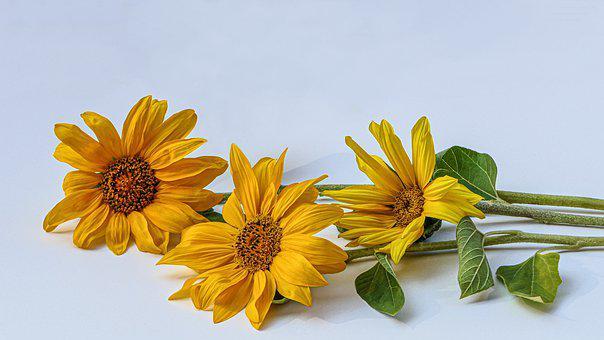 Sunflower, Three Lying, Close Up, Together, Summer