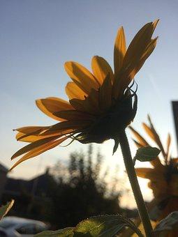 Evening, Sunflower, Sunset, Nature, Vegetable, Flora