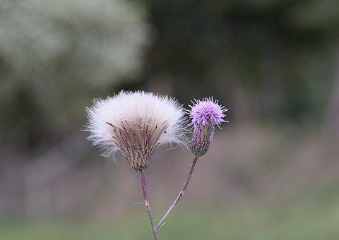 Thistle Flowers, Thorny Plants, Thistle