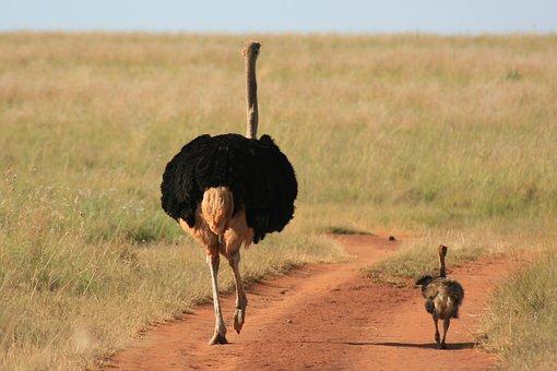 Ostrich, Walking, Chook, Young, Largest, Bird, Watching