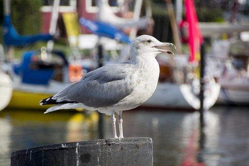 Seagull, Bird, Sea, Flying, Animal, Nature, Water