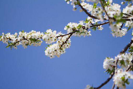 Spring, Apple, Bloom, Tree, Branch, White, Nature