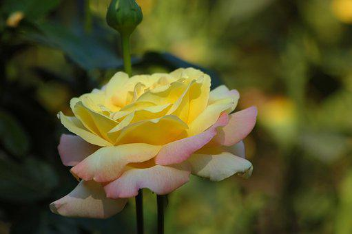 A Yellow Flower, Rose, Garden, Bloom, Petals, Beauty