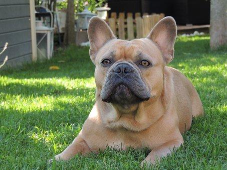Dog, Animal, Friend, Bulldog, Bully, Garden, Rush