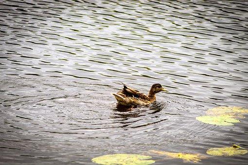 Water, Nature, Lake, Pond, Bird, Wildlife, Background