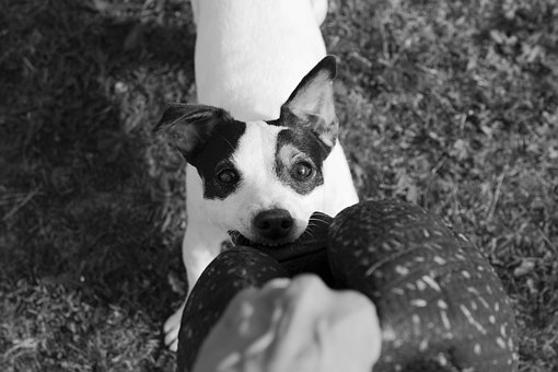 Jack Russel, Dog, Terrier, Ball, Bite, Game, Cute, Fun