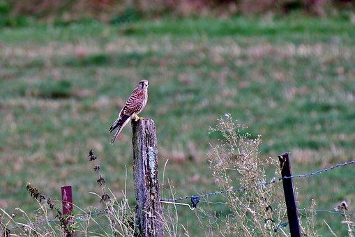 Valk, Bird Of Prey, Plumage, Beak, Sitting