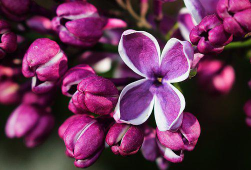 Lilac, Flower, Purple, Bloom, Plant, Violet, Garden